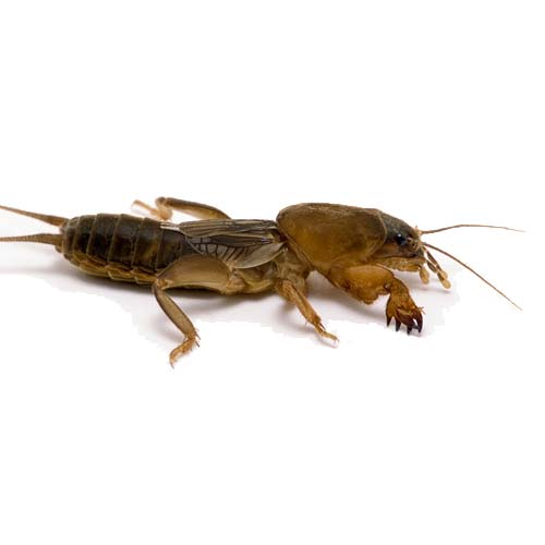 Mole-Crickets